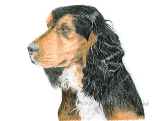 pet portrait example: Coloured studio pencil on 160 gm paper